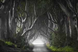 Picture of DARK HEDGES