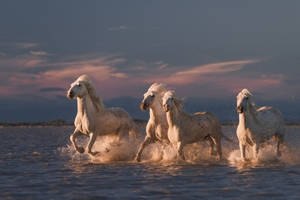 Picture of Angels of Camargue