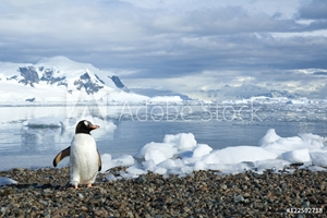 Picture of Adult gentoo penguin (Pygoscelis papua) returning from a foraging trip at sea, Neko Harbour, Antarctic Peninsula