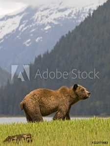 Picture of A male Grizzly Bear (Ursus arctos horribilis) surveys his surroundings while feeding on lush spring sedge grass, Khutzeymateen Grizzly Bear Sanctuary, North of Prince Rupert, British Columbia, Canada