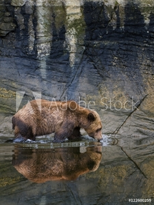 Picture of A male Grizzly bear (Ursus Arctos) drinks from the fresh water in the estuary at the Khutzeymateen Grizzly bear sanctuary, north of Prince Rupert, British Columbia, Canada