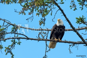 Picture of Bald eagle perched in tree