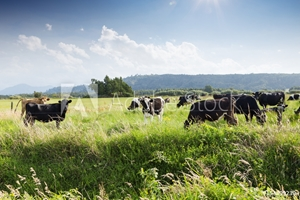 Picture of beafs on new zealand pasture in sunny day