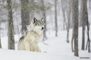 Picture of A wolf sitting in a snowfall in a forest